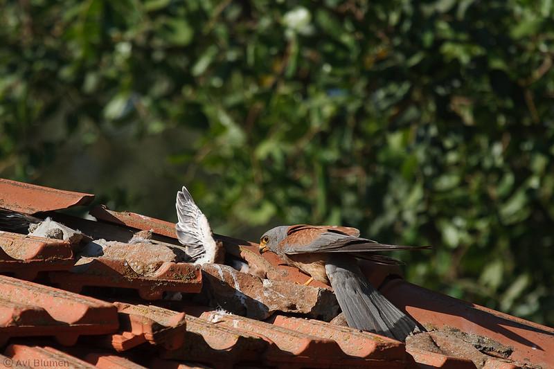 lesser kestrel, male feeding chicks<br />  זכר מאכיל גוזלים