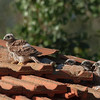 lesser kestrel, chicks גוזלים