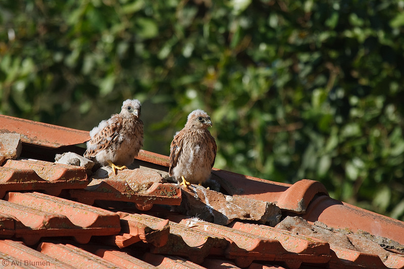lesser kestrel, chicks<br /> גוזלים