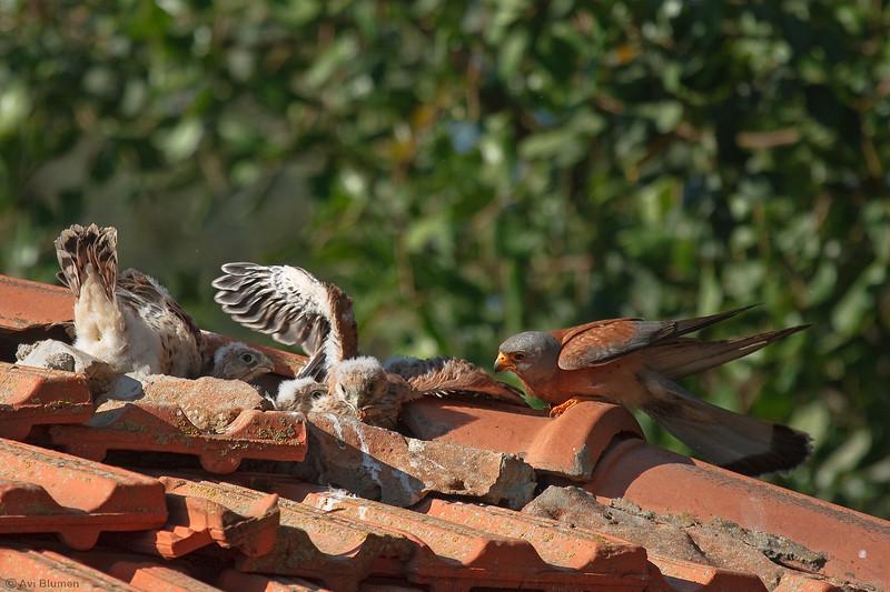 lesser kestrel, male feeding chicks