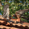 lesser kestrel, male feeding chicks<br />  זכר מאכיל גוזלים