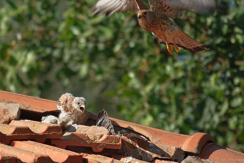 lesser kestrel, female & chicks<br /> נקבה עוזבת את הקן לאחר האכלה