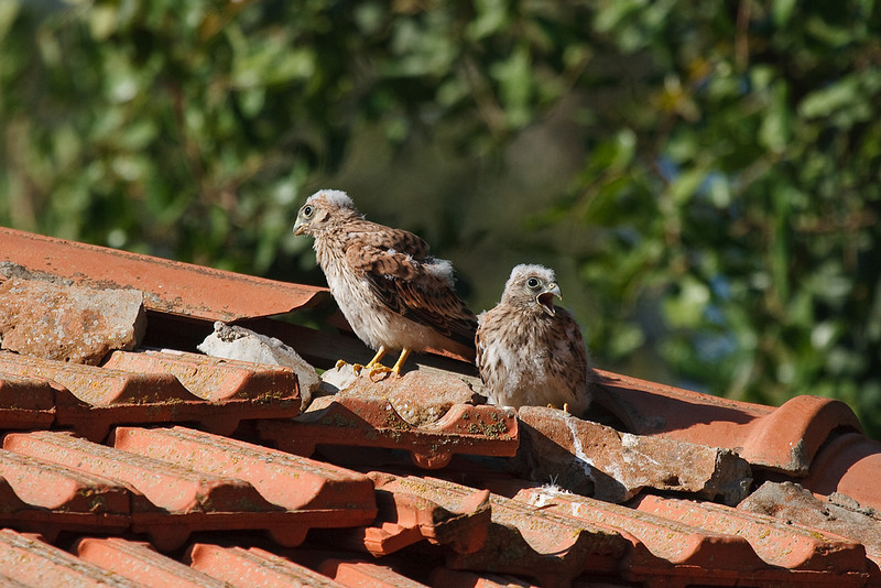 lesser kestrel, chicks גוזלים