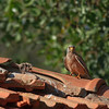 lesser kestrel, male<br />  זכר מאכיל גוזלים