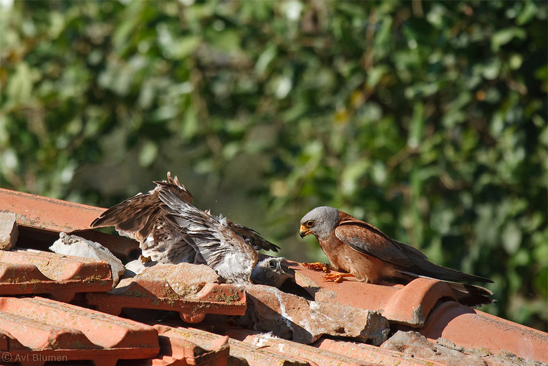 lesser kestrel male feeding chicks זכר מאכיל גוזלים
