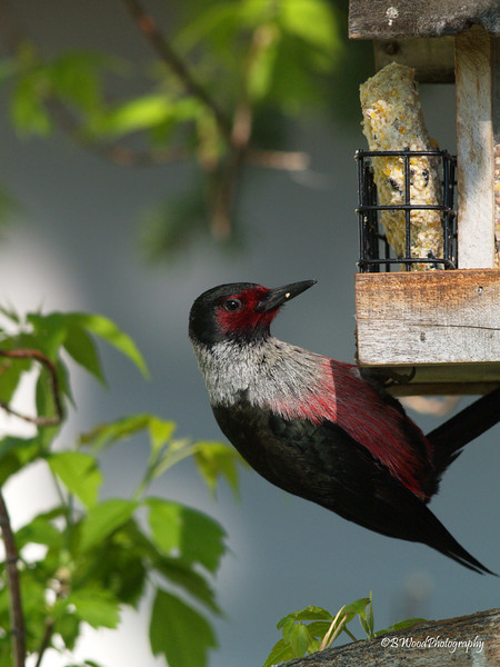 """ML 08MY0419<br /> <br /> A group of woodpeckers has many collective nouns, including """"a descent of woodpeckers"""", """"a drumming of woodpeckers"""", and a """"gatling of woodpeckers."""""""