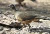 Chachalaca, Plain... Bentsen Rio Grande World Birding Center, Mission, TX  01252012