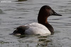 Canvasback...Camp Jordan Lake, East Ridge, TN, 12152010
