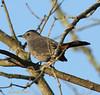 Catbird, Gray... Standifer Gap Marsh, Chattanooga, TN 10022008