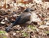 Blackbird, Rusty... Chester Frost County Park, Hixson, TN  03012011