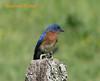 Bluebird, Eastern...Reflection Riding, Chattanooga Nature Center, Chattanooga, TN 05072007