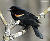 Blackbird, Red-wing ...Standifer Gap Marsh, Chattanooga, TN 03272010