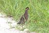 Bobwhite, Northern... Bio Lab Road, Merritt island NWR, Titusville, FL  06012012
