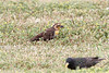 Blackbird, Yellow-headed (YHBL)... Standifer Gap Marsh, Chattanooga, TN  04272012