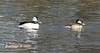 Bufflehead...Chattanooga State Community College Campus, Amnicola Highway, Chattanooga, TN 01092009