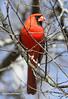 Cardinal, Northern... Campground, Nickajack Dam, Jasper, TN  03302010
