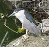 Night Heron, Black-crowned
