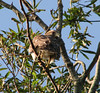Hawk, Red-shouldered - Photographed at New Orleans City Park, New Orleans, LA.