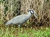 Night-heron, Yellow Crowned