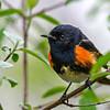American Redstart Warbler @ Magee Marsh SP, OH - May 2016
