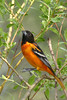 Baltimore Oriole @ Magee Marsh - May 2007