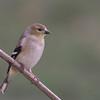 American Goldfinch in Backyard - Jan 2010