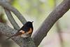 American Redstart Warbler (Male) @ Magee Marsh Wildlife Area - May 2009