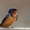 Barn Swallow @ Magee - May 2013