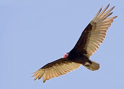 Turkey Vulture ( Cathartes aura )
