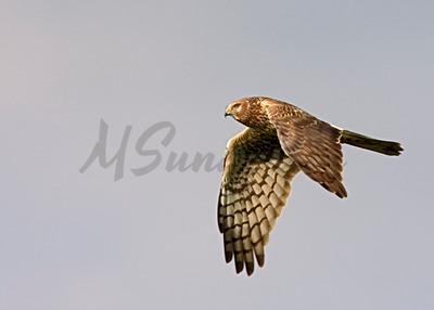 Northern Harrier ( Cirus cyaneus )