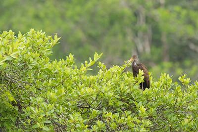 Limpkin - Amazon, Ecuador
