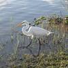 <b>Title - Great White Egret</b> <i>- Jean Dowling</i>