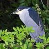 <b>Title - Black-crowned Night Heron</b> <i>- Ed Mattis</i>