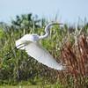 <b>Title - Great Egret in Flight</b> <i>- Bridget Lyons</i>