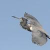 <b>Title - Tricolored Heron Soaring</b> <i>- Leonard Friedman</i>