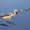 Description - Great Blue Heron <b>Title - Ruffled Feathers</b> <i>- Thomas Quaranta</i>