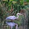 <b>Title - Great Blue Heron</b> <i>- Lyle Gabor</i>