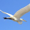 <b>Title - Great Egret Overhead</b> <i>- Leonard Friedman</i>