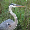 <b>Title - Great Blue Heron</b> <i>- Christian Petrisko</i>