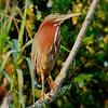 <b>Title - Green Heron</b> <i>- Joe Dell</i>