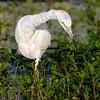 <b>Title - Immature Little Blue Heron (White Phase)</b> <i>- Herbert Zaifert</i>