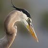 <b>Title - Great Blue Heron</b> 2nd Place <i>- Nubia Richman</i>