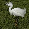 <b>Title - Snowy Egret Fluffed</b> <i>- Ruth Pannunzio</i>