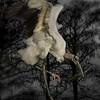 Wood Stork Building Nest