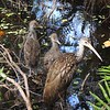 Limpkin and its Young