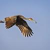 Limpkin in Flight