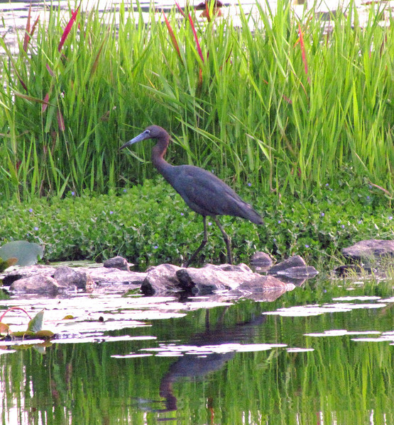 Little Blue Heron<br /> Little Ocmulgee State Park<br /> Helena, Georgia<br /> Telfair County