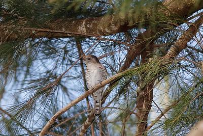Little Bonze Cuckoo