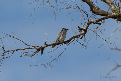 Little Bronze Cuckoo (probably Gould's)
