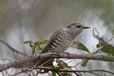 Little Bronze-Cuckoo - Male